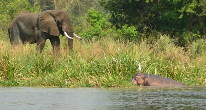 Слон самец наблюдает за бегемотом